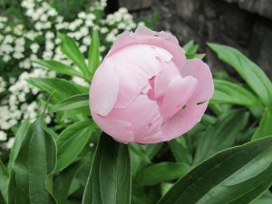 partially closed pink peony