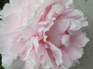 fluffy light pink peony