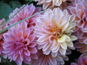 varigated pink dahlias