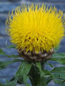 single centaurea flower