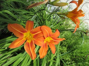 orange daylillies