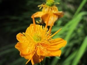 orange coreopsis