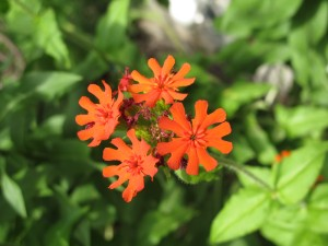 individual flowers of Maltese Cross