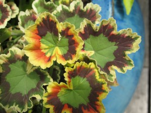 multicolored geranium leaves