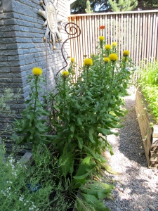 giant yellow knapweed