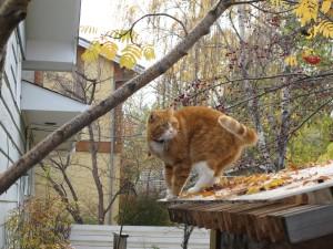 Tiger exploring outside