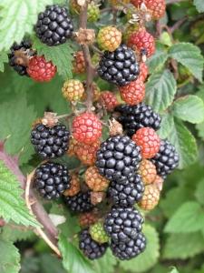 multi colored berries