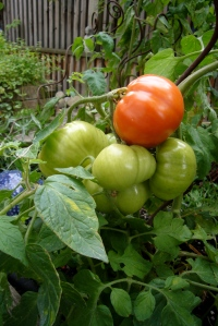 beautiful tomatoes on the vine