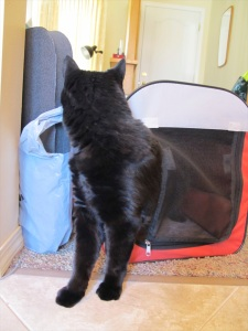 cat stepping out of carrier