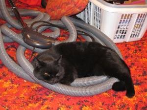 cat on vaccuum hose