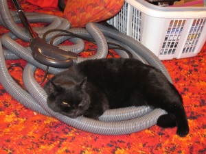cat on vaccuum hose