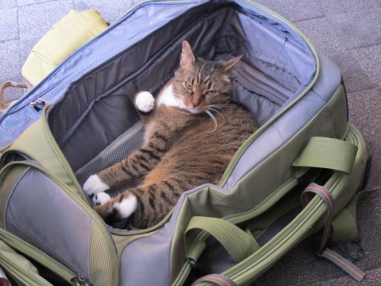 luggage cat