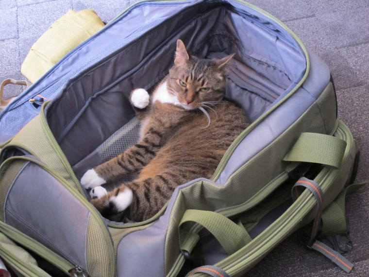 luggage cat
