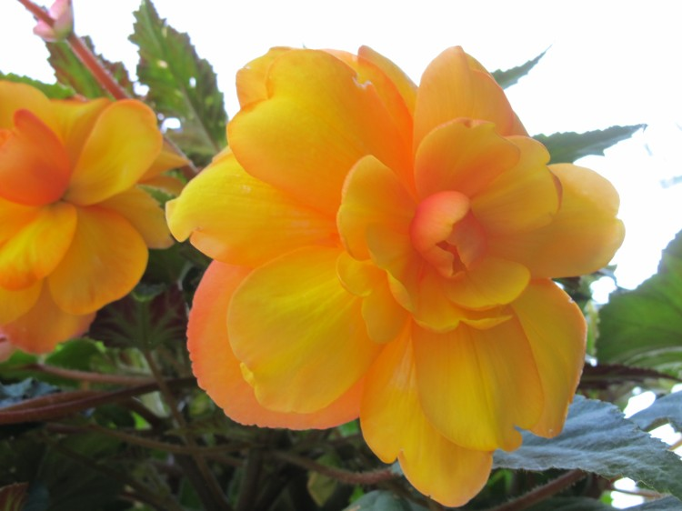 yellow orange begonia