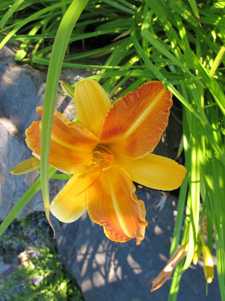2 color day lily