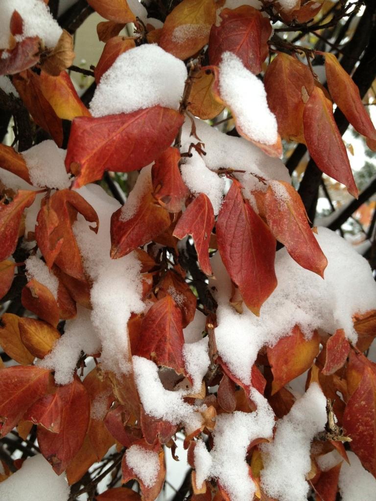 snowy hedge