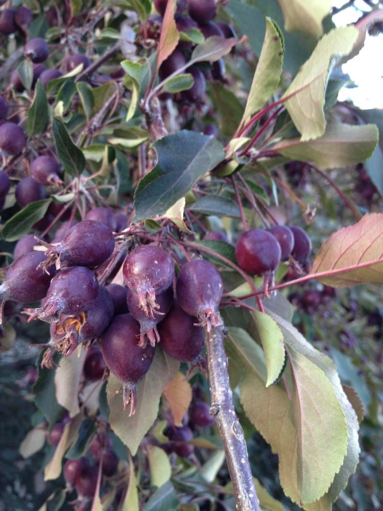 tree berries