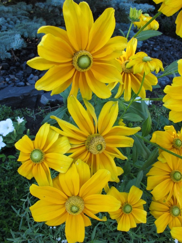 yellow rudbeckia