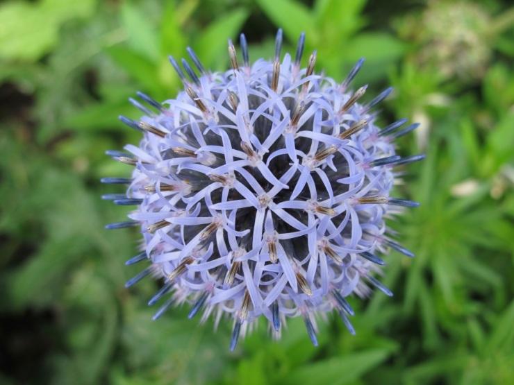 purple globe type flower
