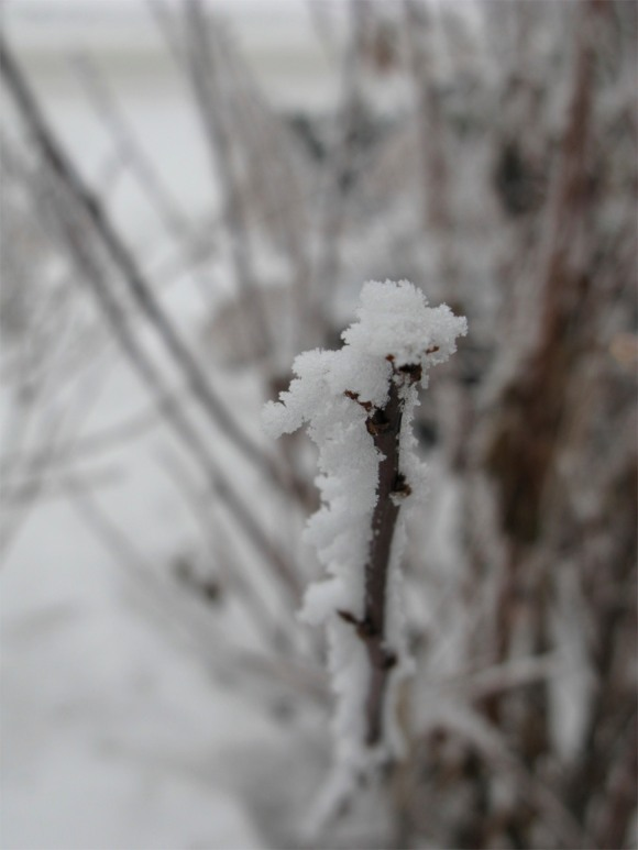ice covered branch