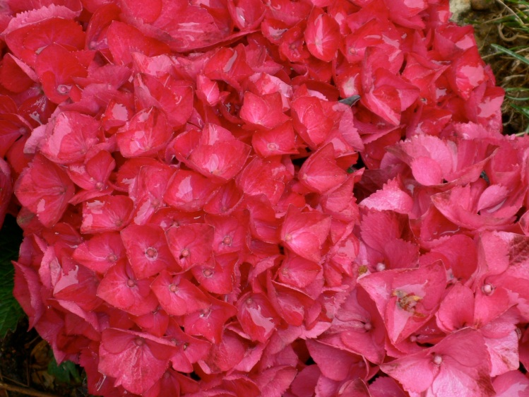 deep pink hydrangea