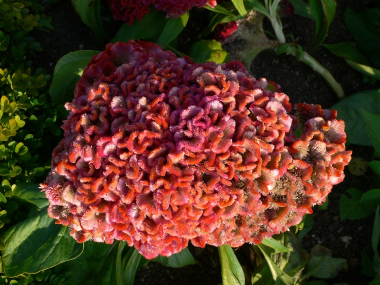 pink cockscomb