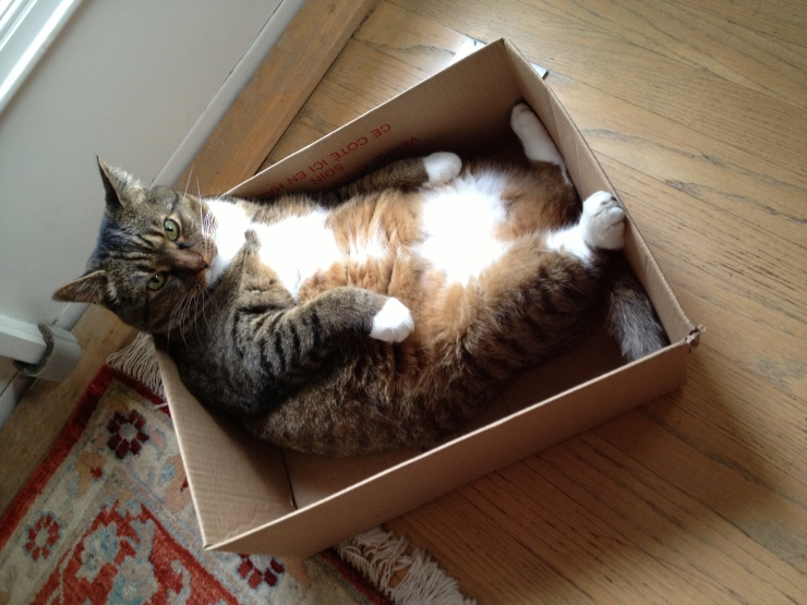 Kush the cat in a cardboard box