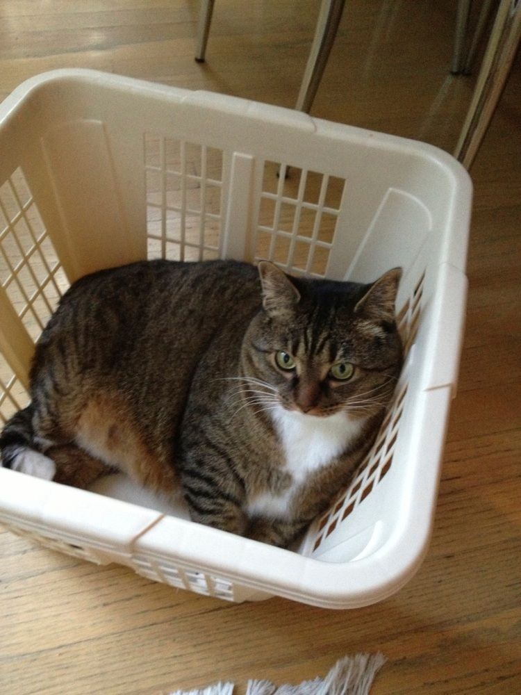 Kush the cat in a laundry basket