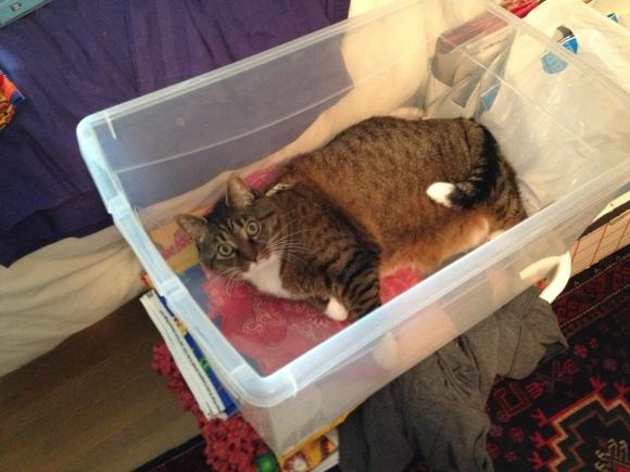 Kush the cat in plastic storage container