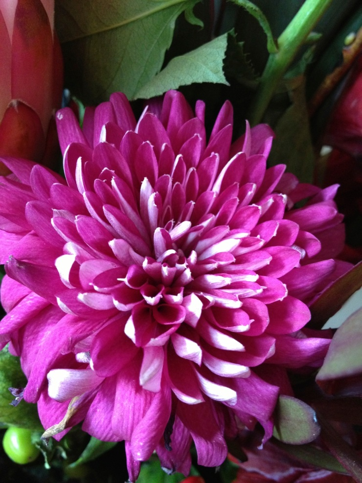 deep pink chrysanthemum