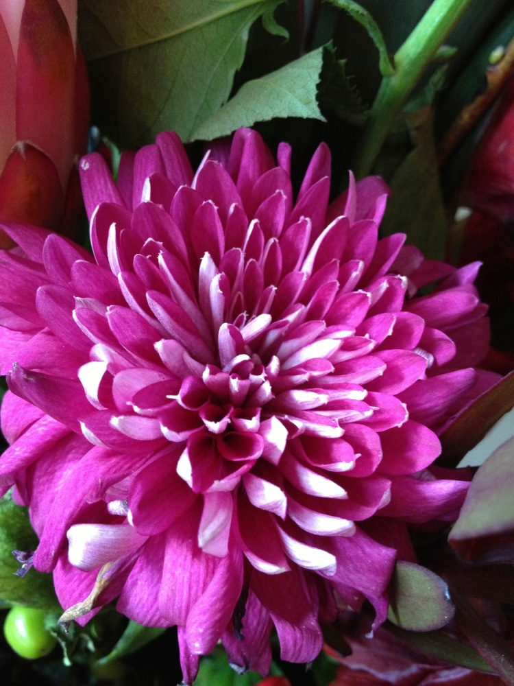 deep pink chrysanthemum