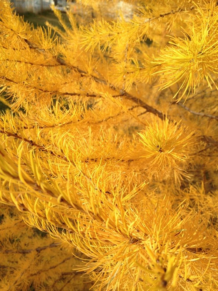needles of tamarack tree