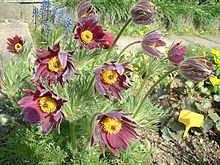 red pasque flower