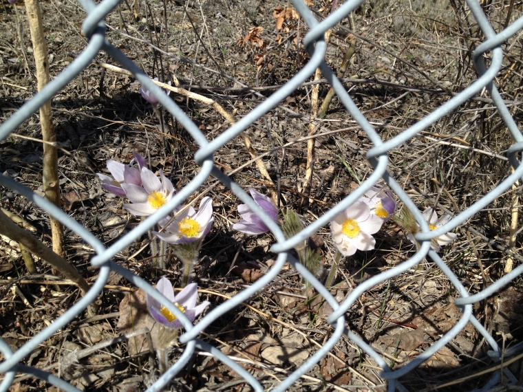 flowers through the fence