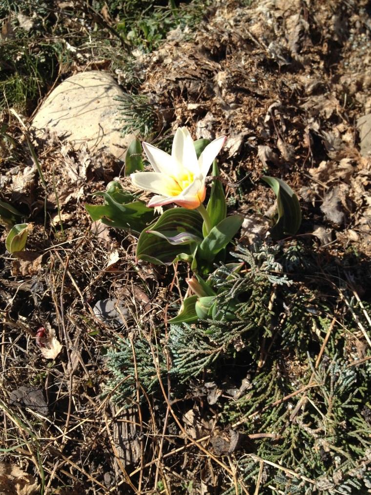 tiny tulip