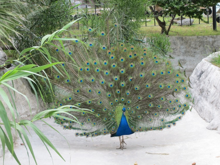peacock on display