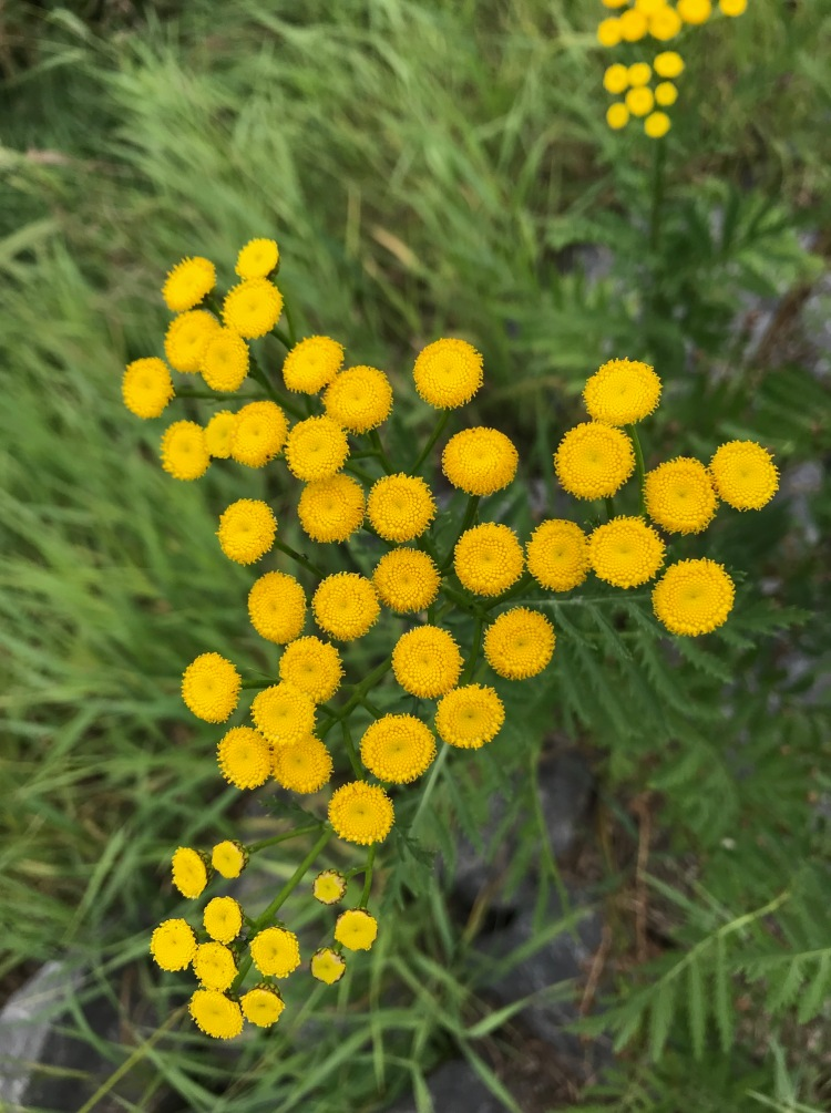 yellow button flowers