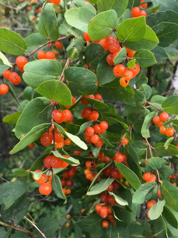 bright orange berries